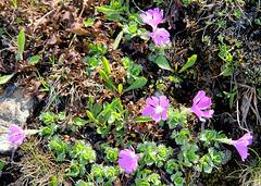 Zwerg-Primel - (Primula minima)