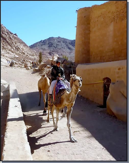 SINAI : i dromedari trasportano cose e persone fino al monastero