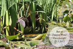 Bat at Friston Pond 25 5 2012