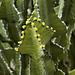 """Transvaal Candelabra Tree"" – Desert Botanical Garden, Papago Park, Phoenix, Arizona"