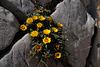 Pallenis maritima, Asteraceae