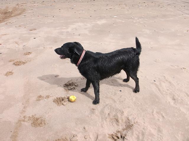 BDD - beach dog