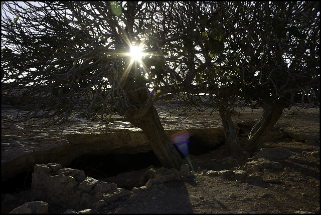 Sun through the fig tree
