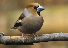 Hawfinch (Coccothraustes coccothraustes) perched F24-01