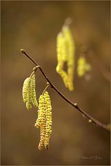 Wie kent ze niet die Snottebelletjes van de Hazelaar... Ze bloeien alweer volop!