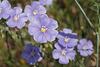 Linum perenne, Linaceae
