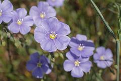 Linum perenne, Linaceae, Alpes FR