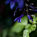 SSC - complementary colors - purple flower