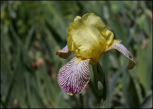 Iris Gracchus (1)