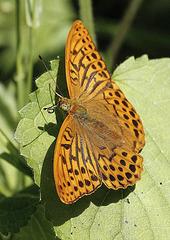 Argynia paphia