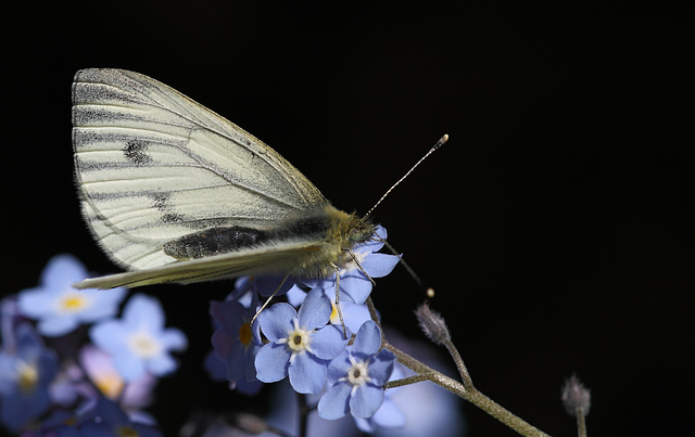 Green veined white butterfly 2015-04-28 12.57.27-1 (46)