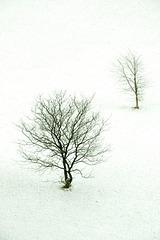 winter trees DSC 0448