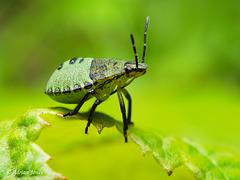 Common Green Shieldbug Nymph (Palomena prasina)