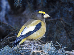 Evening Grosbeak male, Priddis Count