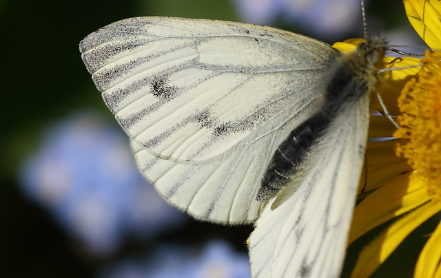 Green veined white butterfly 2015-04-28 12.57.27-1 (52)