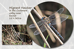 Migrant Hawker - Exceat - 15.9.2016
