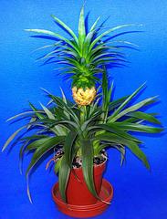 Pineapple (Ananas comosus).