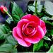Red, red summer rose... ©UdoSm