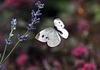 gdn butterfly lavender DSC 1991