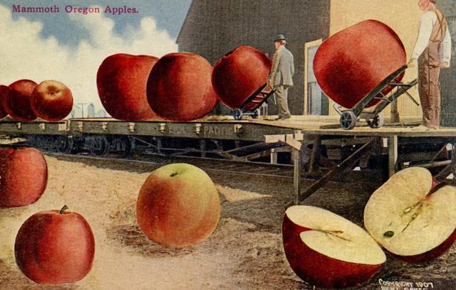Mammoth Oregon Apples