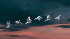 Pigeon vole...