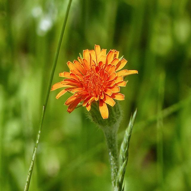 Orange False Dandelion / Agoseris aurantiaca