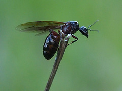 Camponotus sp reine ailée...