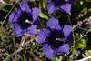 Gentiana acaulis, Gentianaceae