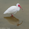 Ibis and Reflection