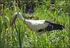 Stork in my backgarden