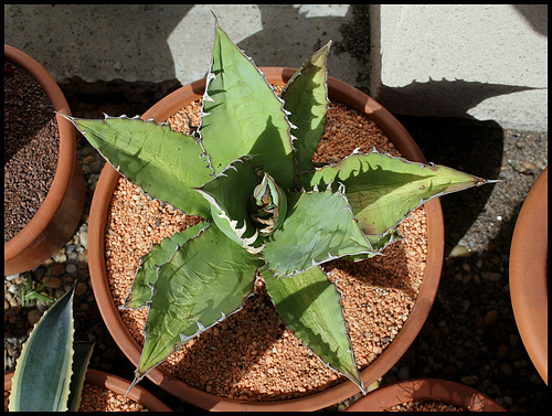 Agave titanota (4)