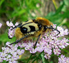 Scarabé abeille / Bee beetle
