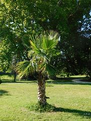 Palmier**********Trachycarpus fortunei*********