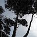 Porquerolles, Pine trees