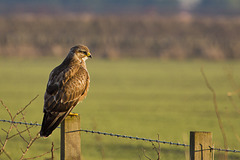 Buzzard on a post