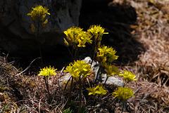 Draba aizoides, Brassicaceae, Alpes FR