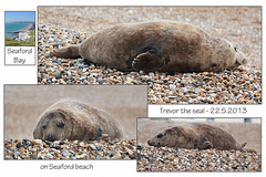Trevor the Seal Seaford 22 5 2013