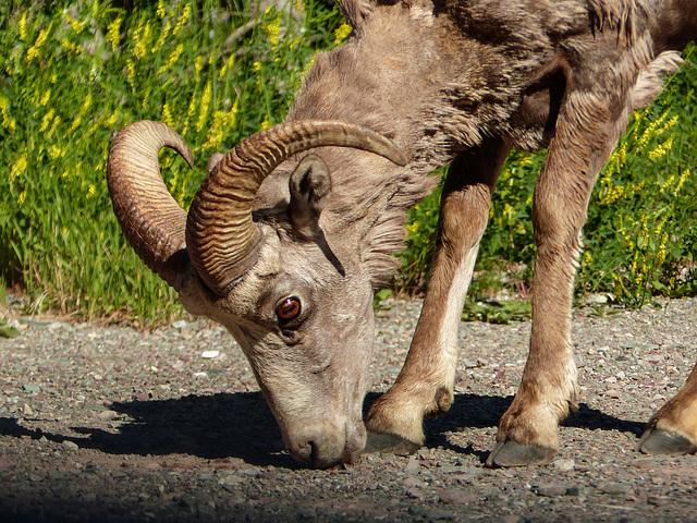 Bighorn Sheep, Waterton Lakes National Park