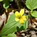 Yellow Violet with Mosquito