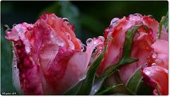 MON JARDIN ... en rose
