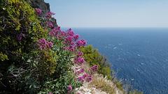 Centranthus ruber, Alfinetes, Cuidado-dos-homens, Valerianaceae, Cassis FR