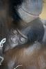 Chimbas Baby (Wilhelma)