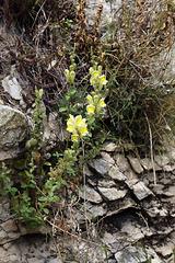 Antirrhinum majus, Scrophulariaceae, Cassis FR