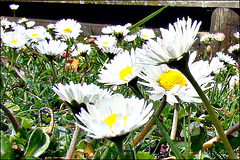 Daisies in Our Lawn