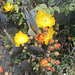 Prickly pears flowering.