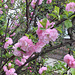 Prunus en fleurs !