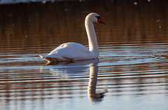 A swan at Burton wetlands