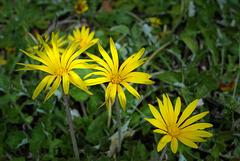 Arctotheca calendula, Asteraceae, Aubagne FR