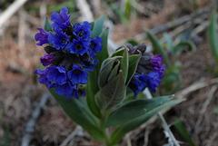 Anchusa oficinalis, Boraginaceae, Alpes FR