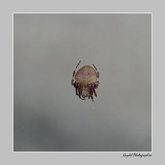 Araignée du matin ...
